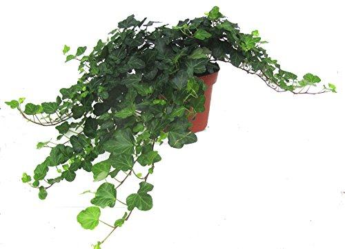 Hedera helix wonder efeu echte pflanze im 13 cm topf - Hangepflanze zimmerpflanze ...