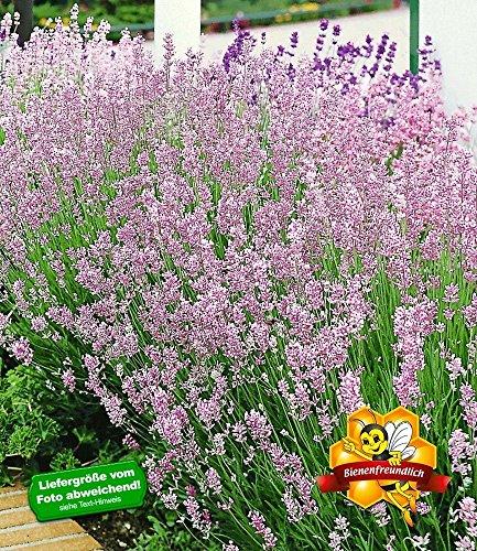 BALDUR-Garten Winterharte Stauden Lavendel-Hecke \'Blau\', 9 Pflanzen ...