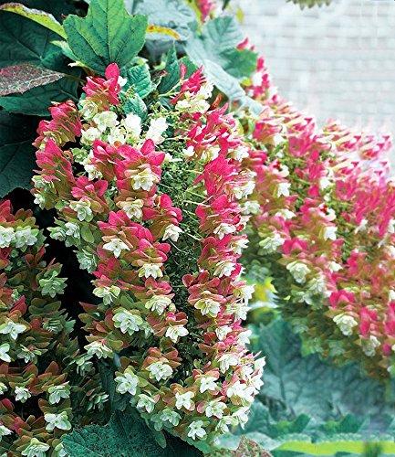 hortensien pflanzen im kübel