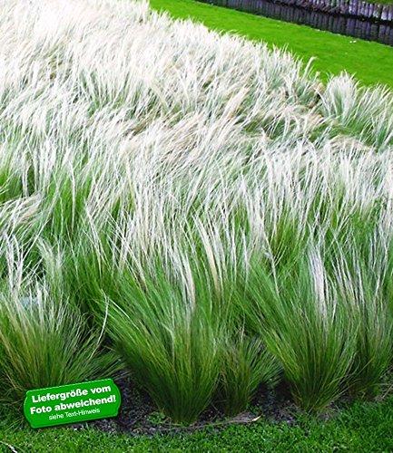 BALDUR Garten Madchenhaargras Federgras Stipa 3 Pflanzen
