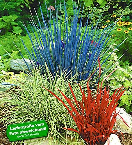 BALDUR Garten Rotes Liebesgras 3 Pflanzen Eragrostis Spectabilis