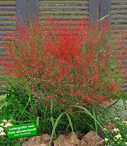 BALDUR-Garten Rotes Liebesgras, 3 Pflanzen Eragrostis spectabilis ...