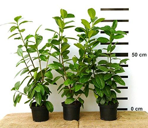 10 X Hecken Pflanze Kirschlorbeer Novita 50 70 Cm Hoch Im 2 Liter