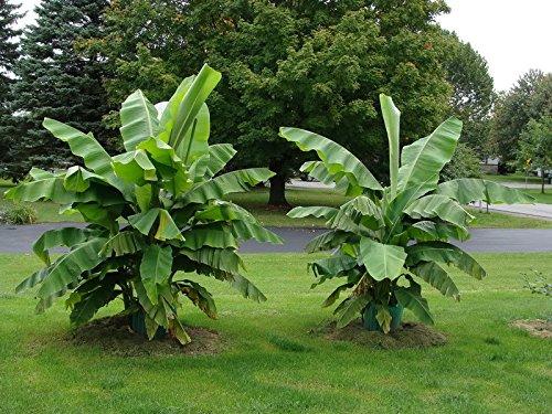 Kiwi Banane Pflanzen
