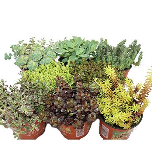 Immergrunes Balkonpflanzen Set 6 Wintergrune Pflanzen Anedrag