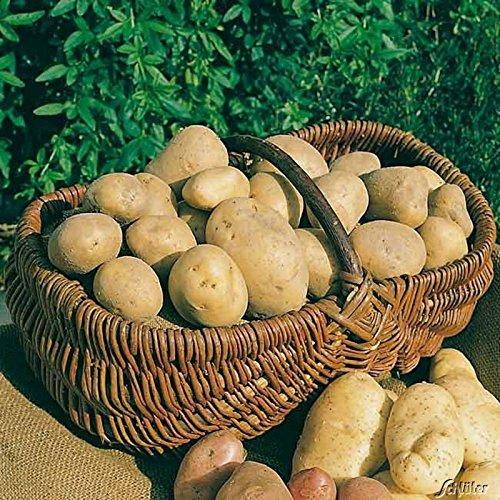 Pflanzzeit Kartoffeln